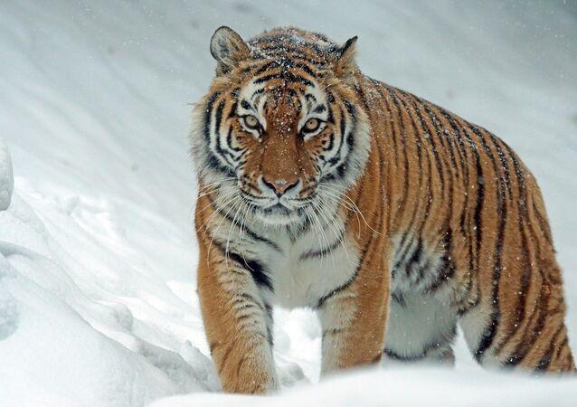 Un tigre de Sibérie