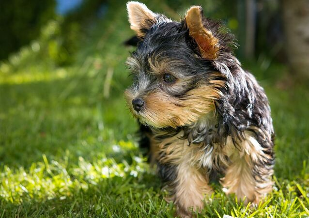 Yorkshire terrier (image d'illustration)