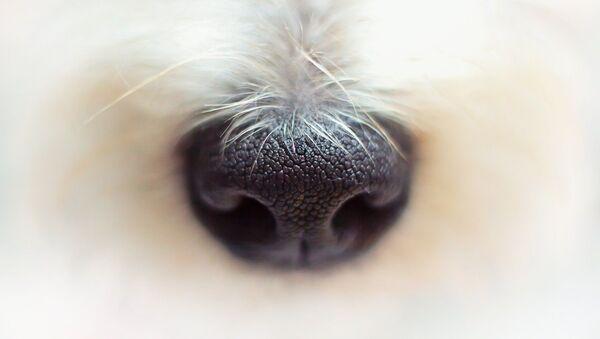 Nez d'un chien - Sputnik France