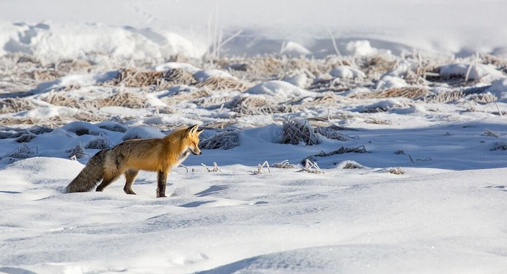 Un renard roux