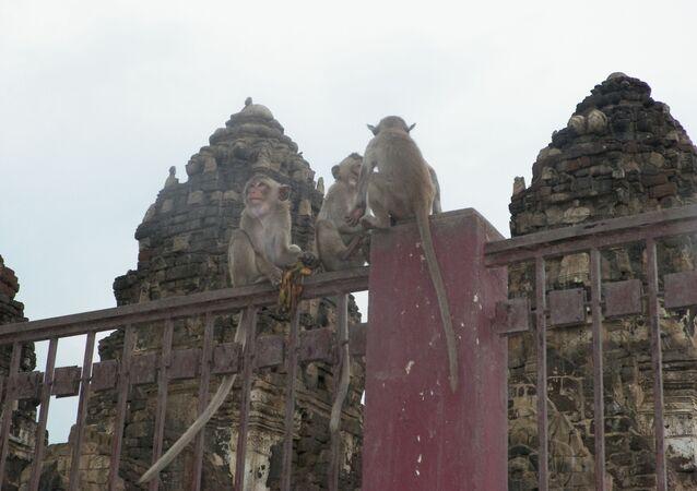Des singes à Lopbury