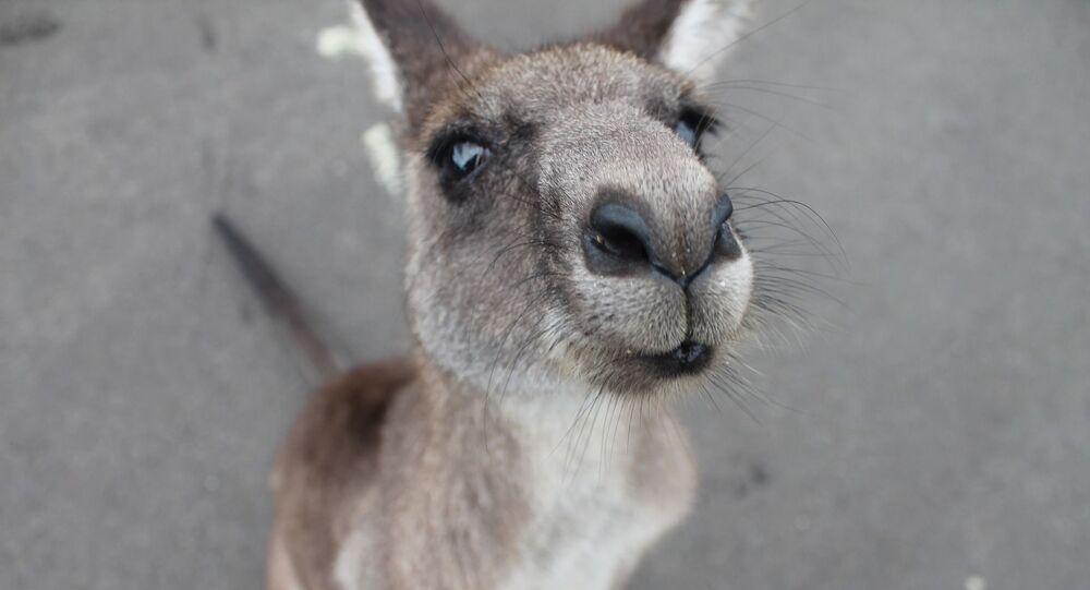kangourou, image d'illustration