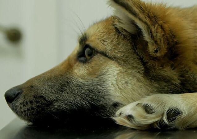 Chance inespérée: une chienne avec une corde incrustée dans le cou a été sauvée