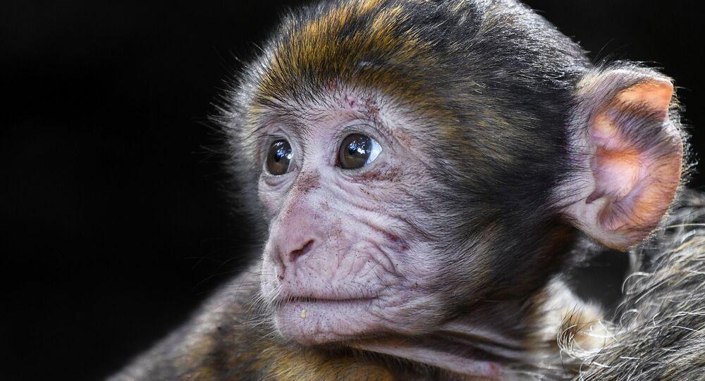 Bébé singe (image d'illustration)