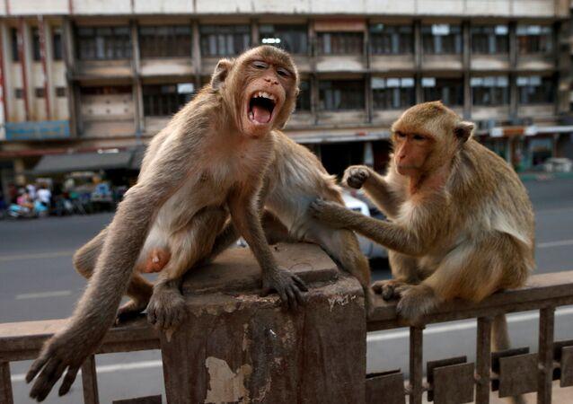 Coronavirus en Thaïlande: la ville de Lopburi occupée par des singes