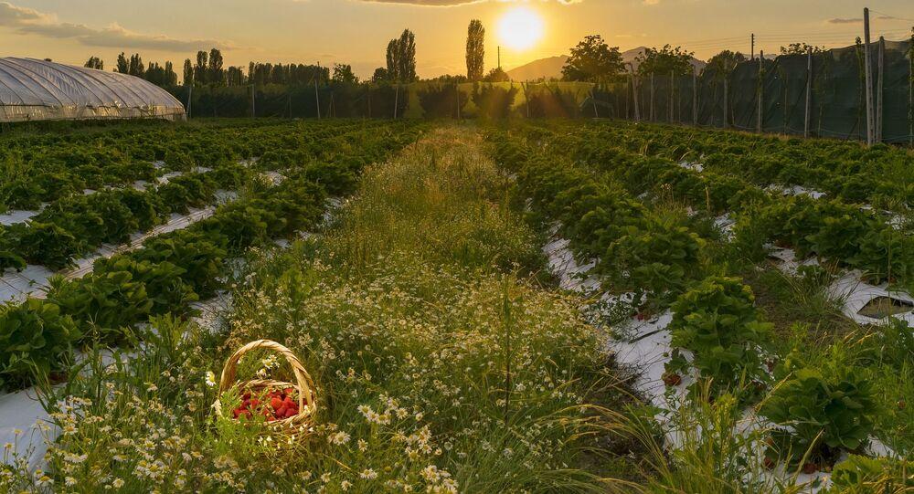 Un champ de fraises