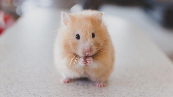 Un hamster - Sputnik France