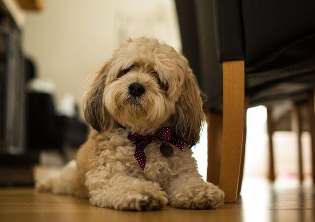 un chien cavachon, image d'illustration
