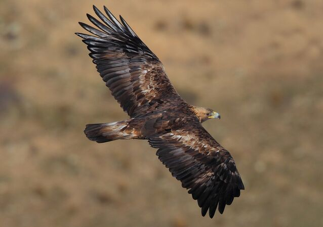 Un aigle royal