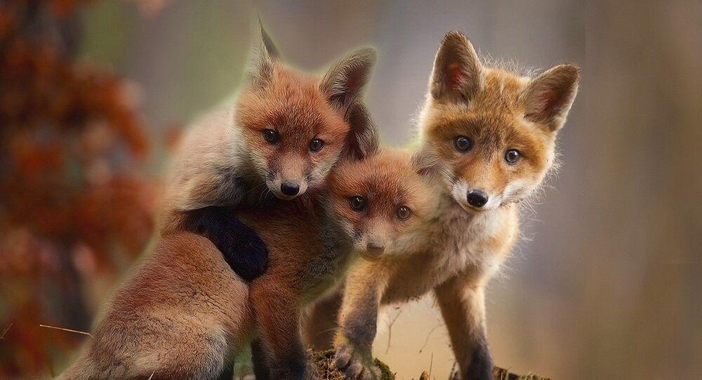Des petits renards