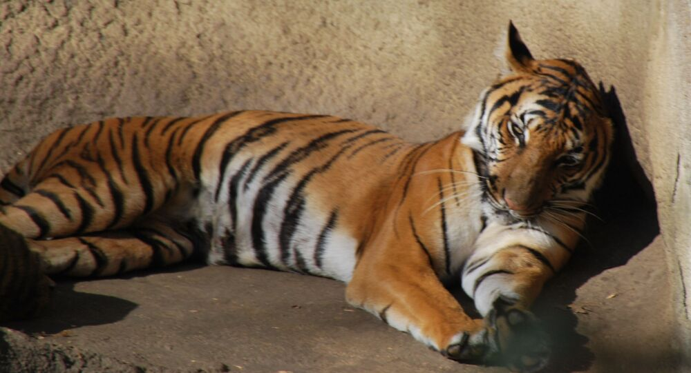 Un tigre de Malaisie (image d'illustration)