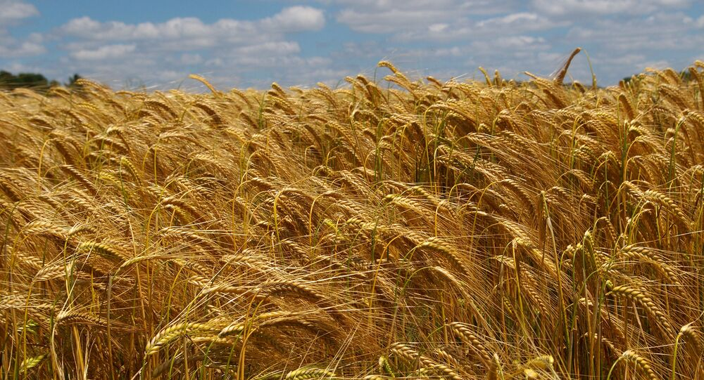 Un champ de blé dans le Loir-et-Cher