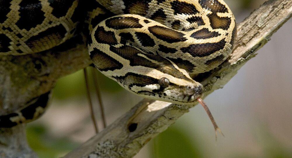 Python (image d'illustration)