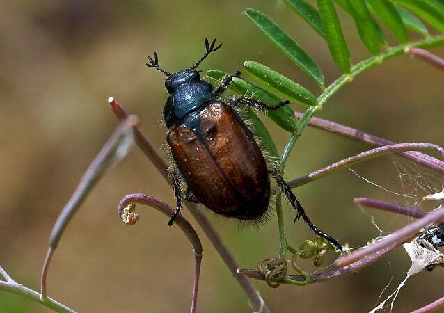 Un coléoptère