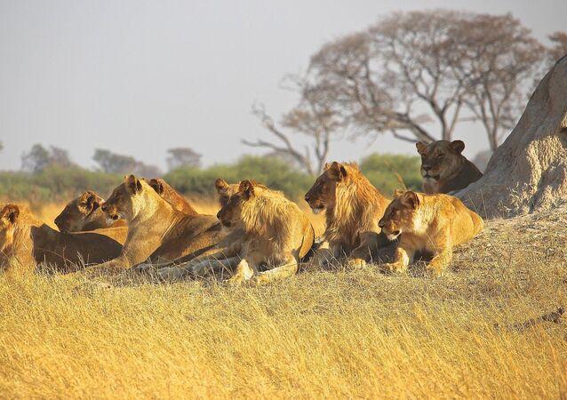 Des lions