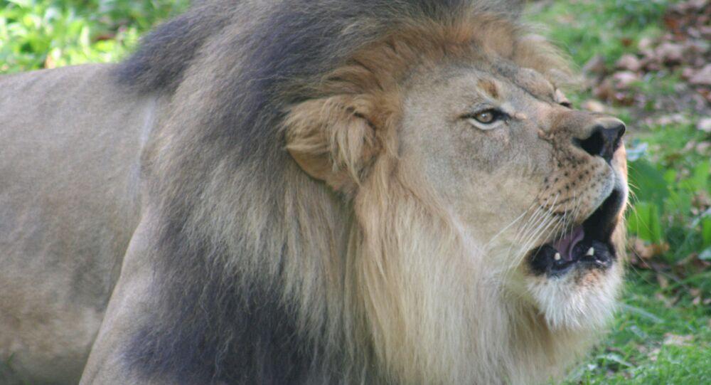 Un lion du zoo de Bronx