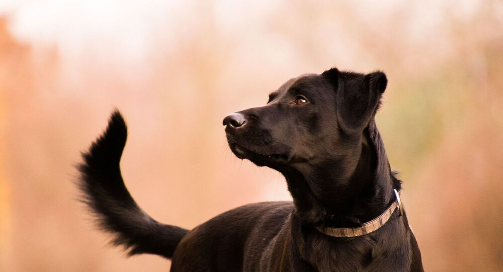 Un labrador (image d'illustraiton)