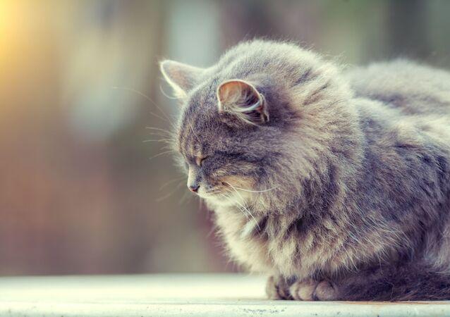 Un chat sibérien