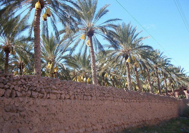 Dattier de l'oasis de Tolga (Algérie)