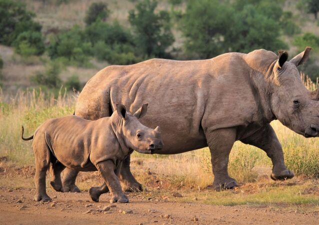 Des rhinocéros