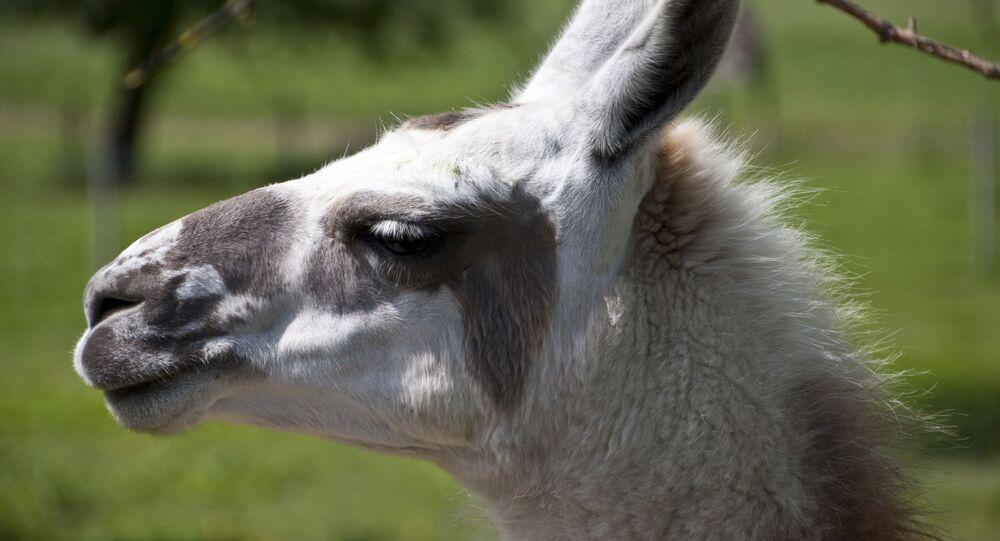 Lama (image d'illustration)