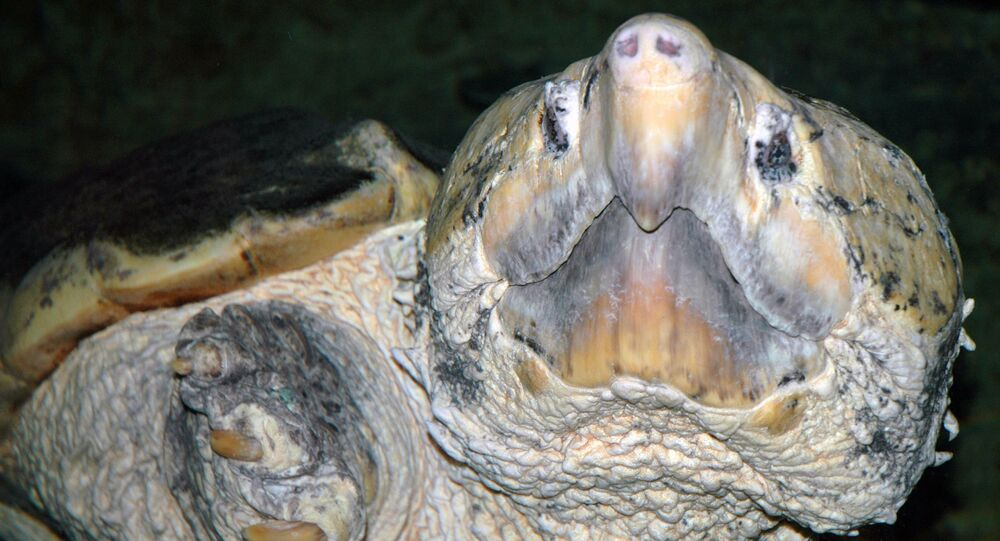 Une tortue alligator (image d'illustration)