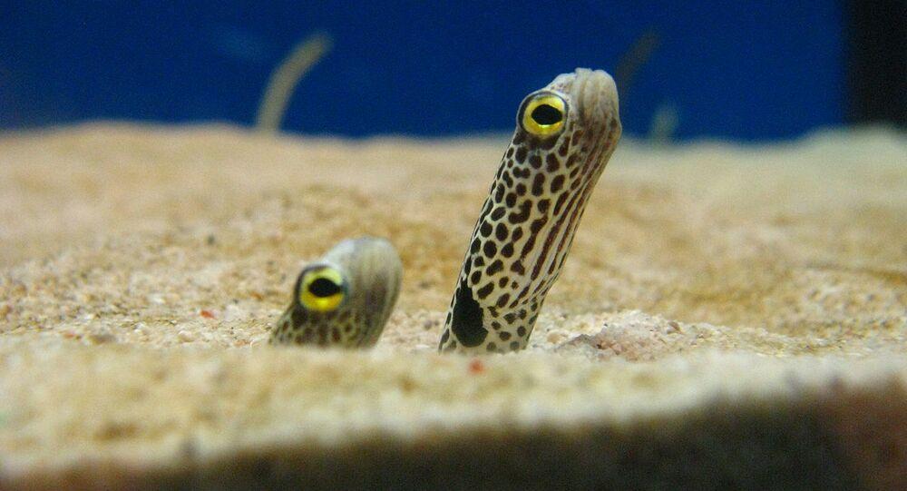 anguilles jardinières