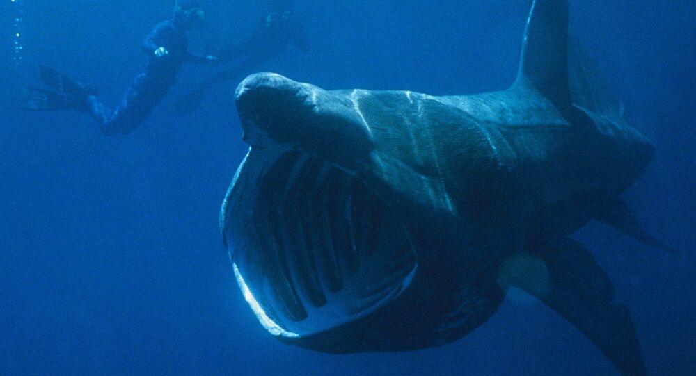 Basking shark seen next to divers
