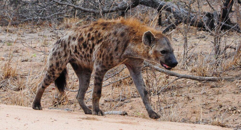 Une hyène (image d'illustration)