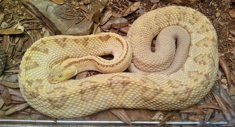 Un serpent albino (image d'illustration)