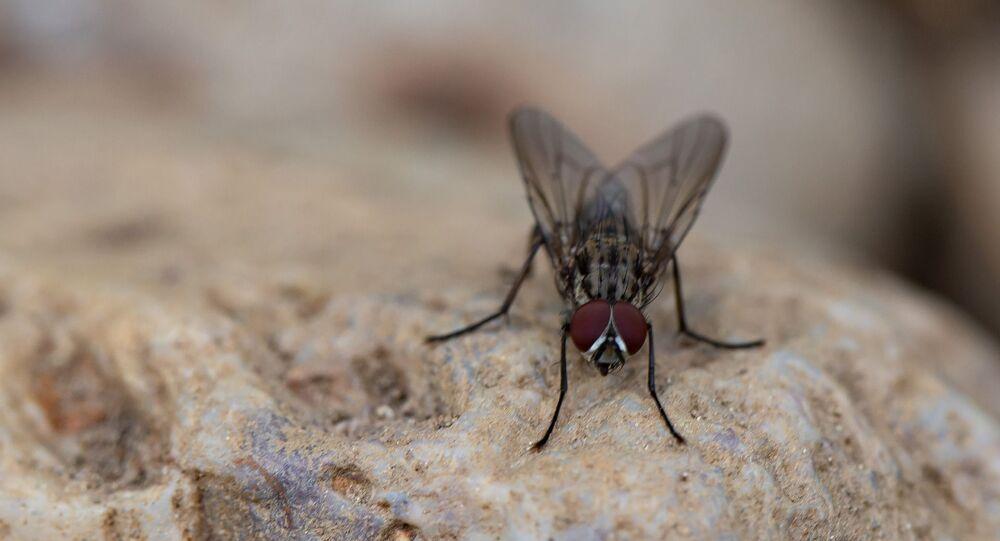 Une mouche domestique