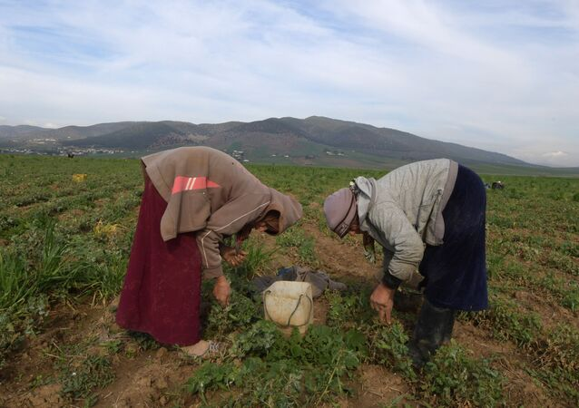 Des ouvrières agricoles, dans le nord de la Tunisie.