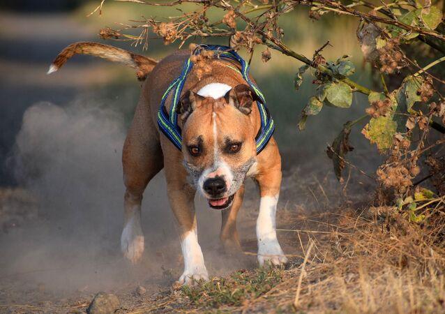 Un american terrier