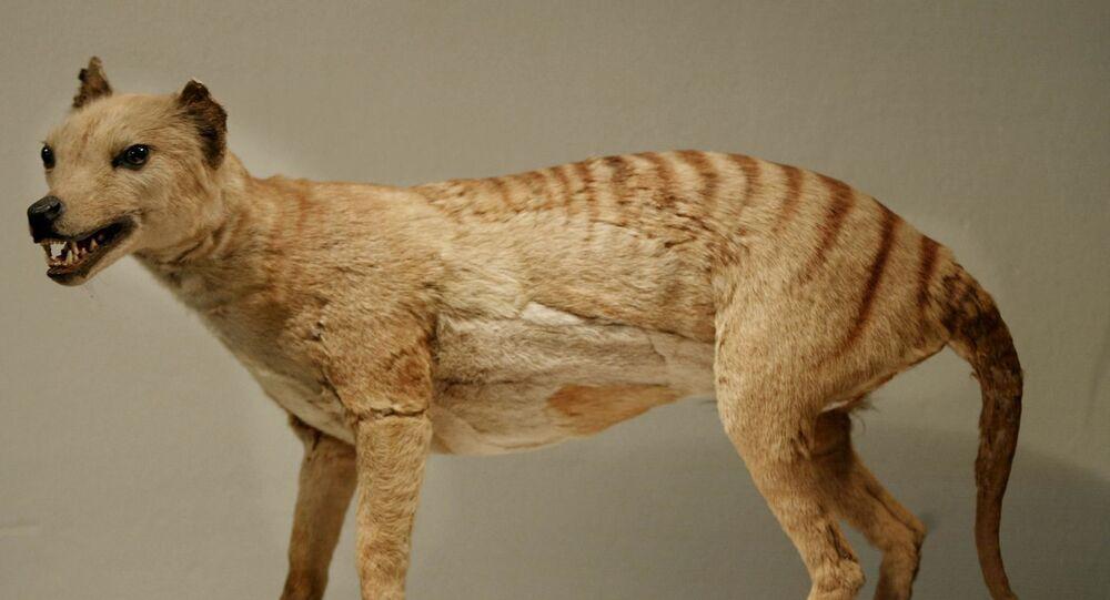 Un thylacine