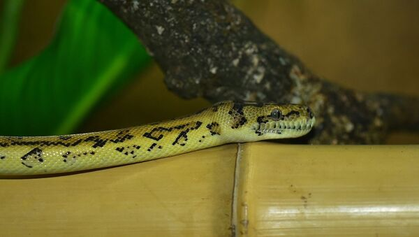 Un python tapis - Sputnik France