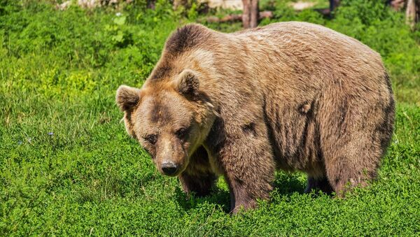 Un ours brun, image d'illustration - Sputnik France