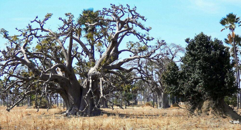 Forêt de baobabs au Sénégal