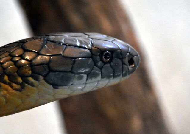 Un cobra