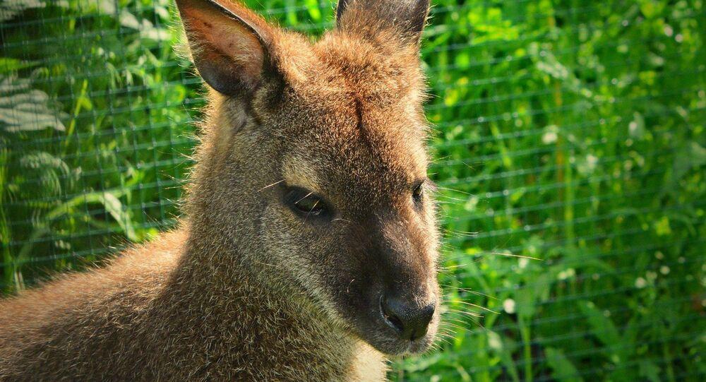 Un wallaby (image d'illustration)