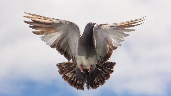 Un pigeon - Sputnik France