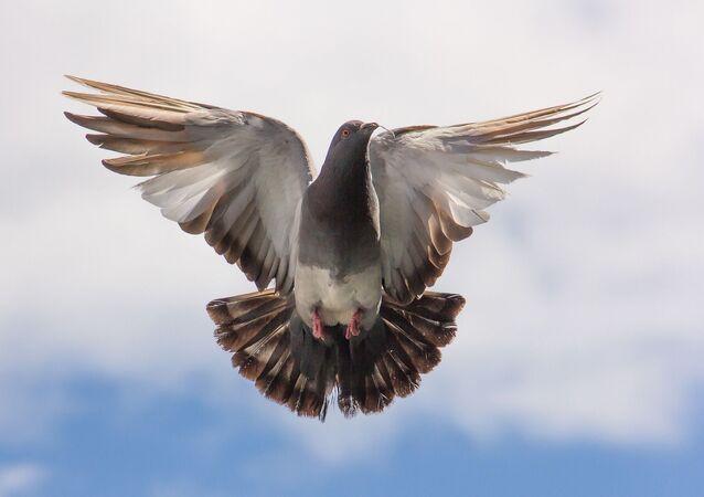 Un pigeon (image d'illustration)