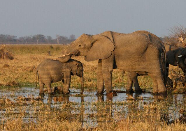 Des élephants au Botswana (image d'illustration)