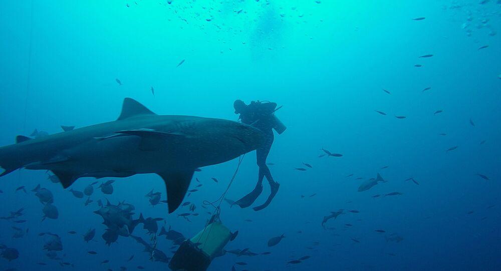 Un requin-taureau (image d'illustration)