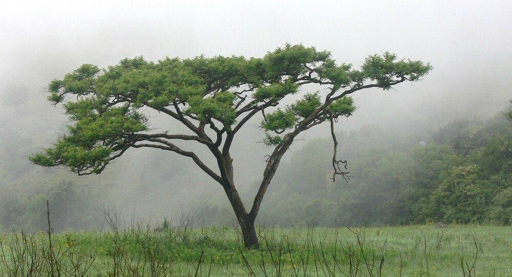 acacia, image d'illustration