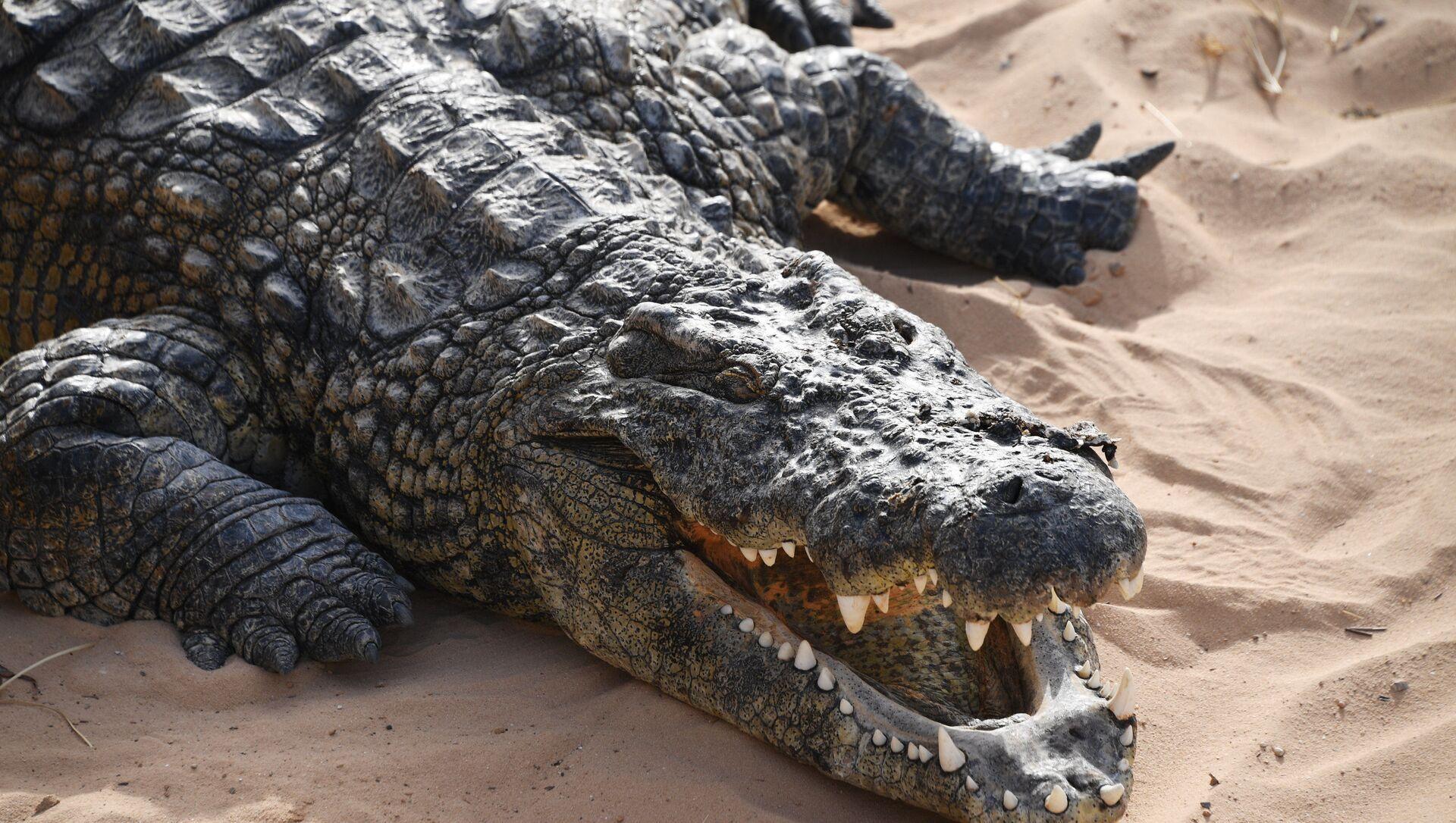 Un crocodile - Sputnik France, 1920, 24.03.2021