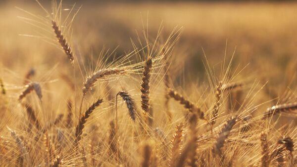 Un champ de blé (image d'illustration) - Sputnik France