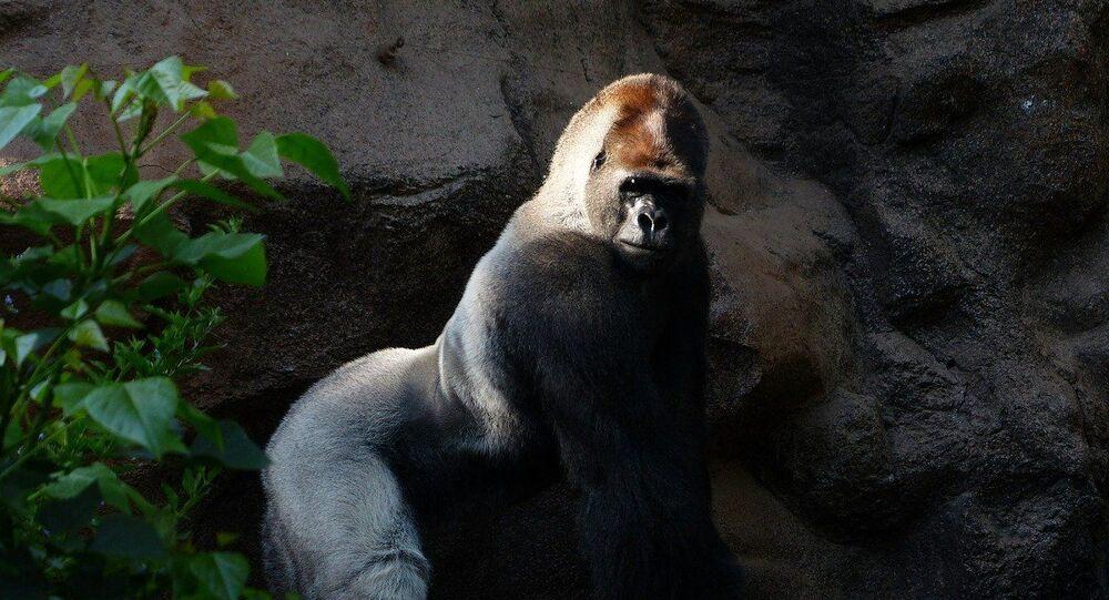 Un gorille, image d'illustration