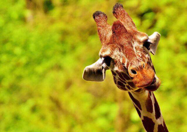 Une girafe, image d'illustration