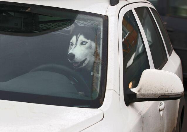 Un chien dans une voiture (image d'illustration)