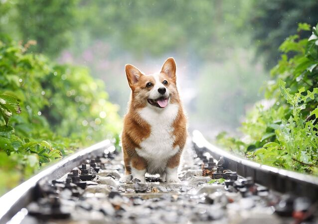 corgi (image d'illustration)